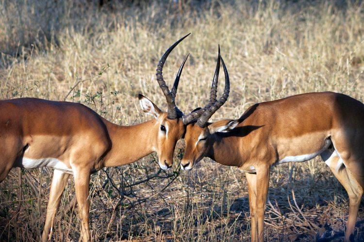 Two adult Impala antelope