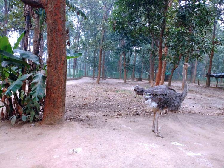 Ostrich baby bird